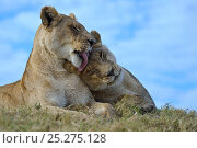 Купить «African lions (Panthera leo) one lioness licking another, Okavango Delta, Botswana», фото № 25275128, снято 19 сентября 2018 г. (c) Nature Picture Library / Фотобанк Лори