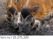 Red river hogs (Potamochoerus porcus) foraging in mud, captive. Стоковое фото, фотограф Edwin Giesbers / Nature Picture Library / Фотобанк Лори