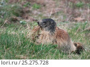 Alpine marmot (Marmota marmota) pulling out dried grass, Hohe Tauern National Park, Austrian Alps, Austria, May. Стоковое фото, фотограф Konstantin Mikhailov / Nature Picture Library / Фотобанк Лори