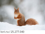 Купить «Red Squirrel (Sciurus vulgaris) adult in snow, Cairngorms National Park, Scotland,  UK, February», фото № 25277040, снято 23 мая 2018 г. (c) Nature Picture Library / Фотобанк Лори