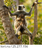 Купить «Hanuman Langur / Northern Plains Grey Langur (Semnopithecus entellus) mother with baby in tree. Kanha National Park, Madhya Pradesh, India.», фото № 25277156, снято 18 января 2019 г. (c) Nature Picture Library / Фотобанк Лори