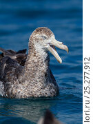 Купить «Northern Giant Petrel (Macronectes halli) sitting on the water calling with bill open. Off Kaikoura, Canterbury, New Zealand, October.», фото № 25277912, снято 19 января 2018 г. (c) Nature Picture Library / Фотобанк Лори