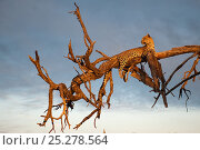 Купить «Leopard (Panthera pardus) relaxing up a tree in evening sun, Okavango Delta, Botswana», фото № 25278564, снято 16 декабря 2019 г. (c) Nature Picture Library / Фотобанк Лори