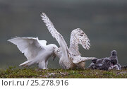 Snowy Owl (Nyctea scandiaca) male bringing lemming to female at the nest with chicks, Utsjoki Finland July. Стоковое фото, фотограф Markus Varesvuo / Nature Picture Library / Фотобанк Лори