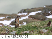 Two Alpine marmots (Marmota marmota) one standing on hind legs calling, Hohe Tauern National Park, Austrian Alps, Austria, May. Стоковое фото, фотограф Konstantin Mikhailov / Nature Picture Library / Фотобанк Лори