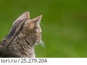 European wild cat (Felix silvestris) rear view of head, captive. Стоковое фото, фотограф Edwin Giesbers / Nature Picture Library / Фотобанк Лори