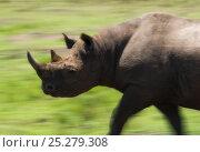 Купить «Black Rhino (Diceros Bicornis) walking. Masai Mara, Kenya, September», фото № 25279308, снято 18 августа 2018 г. (c) Nature Picture Library / Фотобанк Лори