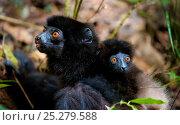 Milne-Edwards' sifaka (Propithecus edwardsi) with young on its back, Ranomafana National Park, Madagascar, Endangered, September. Стоковое фото, фотограф Inaki Relanzon / Nature Picture Library / Фотобанк Лори