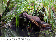 Купить «European mink (Mustela lutreola) on log, Captive, Germany, Critically endangered», фото № 25279688, снято 19 января 2019 г. (c) Nature Picture Library / Фотобанк Лори