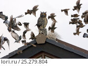 Купить «Common starlings (Sturnus vulgaris) and feral pigeons flying around a model owl meant to deter then from roosting on buildings, UK, November», фото № 25279804, снято 19 августа 2018 г. (c) Nature Picture Library / Фотобанк Лори