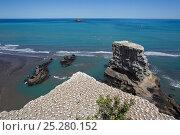 Купить «Australasian Gannet (Morus serrator) breeding colony above sea stacks. Muriwai, Auckland, New Zealand, November.», фото № 25280152, снято 26 марта 2019 г. (c) Nature Picture Library / Фотобанк Лори