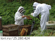 Купить «Bee keeper, Richard Emery, attending Honey bee (Apis mellifera) beehive at a heathland site, being filmed by Paul and Ryan Edwards, Suffolk, UK, August 2011.», фото № 25280424, снято 19 августа 2018 г. (c) Nature Picture Library / Фотобанк Лори