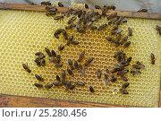 Купить «Worker European honey bees (Apis mellifera) on honeycomb in beehive, Suffolk, UK, August», фото № 25280456, снято 19 августа 2018 г. (c) Nature Picture Library / Фотобанк Лори