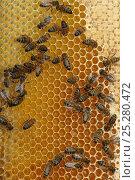 Купить «Worker European honey bees (Apis mellifera) on honey comb in beehive, Suffolk, UK, August», фото № 25280472, снято 19 августа 2018 г. (c) Nature Picture Library / Фотобанк Лори