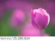Купить «Tulip (Tulipa) cultivated, Schwerin, Germany», фото № 25280824, снято 20 октября 2019 г. (c) Nature Picture Library / Фотобанк Лори