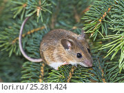 Купить «Yellow-necked mouse (Apodemus flavicollis) adult on coniferous tree, Lower Saxony, Germany, captive», фото № 25281424, снято 18 августа 2018 г. (c) Nature Picture Library / Фотобанк Лори