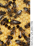Купить «Italian Honey bee queen (marked) and hybrid workers (Apis mellifera ligustica) Sussex, UK», фото № 25283116, снято 18 августа 2018 г. (c) Nature Picture Library / Фотобанк Лори