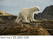 Купить «Polar bear (Ursus maritimus) adult travels the coast along Spitsbergen in search of food, northwestern coast of the Svalbard Archipelago, Norway, Greenland Sea,, July», фото № 25283124, снято 23 мая 2018 г. (c) Nature Picture Library / Фотобанк Лори