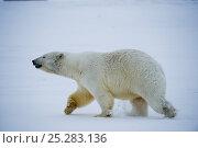 Купить «Polar bear (Ursus maritimus) sow traveling across newly formed pack ice off the 1002 coastal area of the Arctic National Wildlife Refuge, Alaska, Beaufort Sea, USA, October», фото № 25283136, снято 3 июля 2020 г. (c) Nature Picture Library / Фотобанк Лори