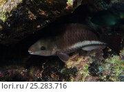 Купить «Queen Parrotfish, initial phase (Scarus vetula) sheltering under rock, Bonaire, Netherlands Antilles, Caribbean», фото № 25283716, снято 10 июля 2020 г. (c) Nature Picture Library / Фотобанк Лори