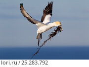 Купить «Male Australasian Gannet (Morus serrator) flying with seaweed for use as nesting material. Cape Kidnappers, Hawkes Bay, New Zealand, September.», фото № 25283792, снято 26 марта 2019 г. (c) Nature Picture Library / Фотобанк Лори