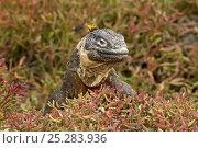 Купить «Galapagos land iguana (Conolophus subcristatus) climbing over Galapagos carpet weed (Sesuvium sp), Plazas Island, Galapagos Islands», фото № 25283936, снято 22 марта 2019 г. (c) Nature Picture Library / Фотобанк Лори