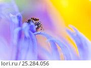 Купить «Jumping spider (Euophrys frontalis) male amongst flower petals, Peak District National Park, Derbyshire, UK, June.», фото № 25284056, снято 16 февраля 2019 г. (c) Nature Picture Library / Фотобанк Лори