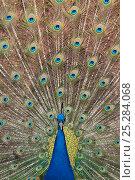 Купить «Male Indian peafowl (Pavo cristatus) displaying, captive Not available for ringtone/wallpaper use.», фото № 25284068, снято 25 апреля 2019 г. (c) Nature Picture Library / Фотобанк Лори
