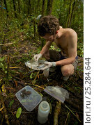Купить «Foja Mountains RAP Expedition herpetologist Paul Oliver prepares his frog specimens. Foja Mountains, Papua, Indonesia, 2008. (taken during Conservation...», фото № 25284644, снято 22 сентября 2019 г. (c) Nature Picture Library / Фотобанк Лори