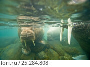 Купить «Underwater close up of a curious young bull Walrus (Odobenus rosmarus) in waters along Spitsbergen and the northwest coast of the Svalbard Archipelago, Norway, Arctic Ocean, July», фото № 25284808, снято 15 августа 2018 г. (c) Nature Picture Library / Фотобанк Лори