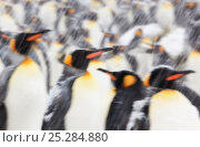 Купить «King Penguin (Aptenodytes patagonicus) colony in heavy snow. South Georgia Island, Southern Ocean, November.», фото № 25284880, снято 18 января 2020 г. (c) Nature Picture Library / Фотобанк Лори