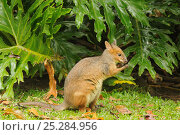 Купить «Red-legged pademelon (Thylogale stigmatica) in World Heritage Area rainforest, north Queensland, Australia, November», фото № 25284956, снято 20 января 2020 г. (c) Nature Picture Library / Фотобанк Лори