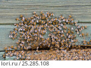 Купить «Bees (Apis mellifera) preparing to swarm from their hive. Estonia, Europe, July.», фото № 25285108, снято 15 декабря 2017 г. (c) Nature Picture Library / Фотобанк Лори