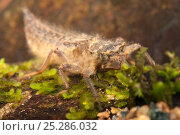 Купить «Spike-tail Dragonfly (Cordulegaster) nymph portrait. Europe, August.», фото № 25286032, снято 15 октября 2019 г. (c) Nature Picture Library / Фотобанк Лори