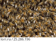 Купить «Worker European honey bees (Apis mellifera) in beehive, Suffolk, UK, August», фото № 25286196, снято 19 августа 2018 г. (c) Nature Picture Library / Фотобанк Лори