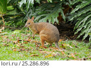 Купить «Red-legged pademelon (Thylogale stigmatica) in World Heritage Area rainforest, north Queensland, Australia, November», фото № 25286896, снято 20 января 2020 г. (c) Nature Picture Library / Фотобанк Лори