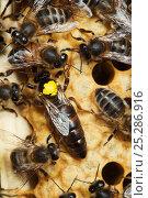 Купить «Italian Honey bee queen (marked) and hybrid workers (Apis mellifera ligustica) Sussex, UK», фото № 25286916, снято 18 августа 2018 г. (c) Nature Picture Library / Фотобанк Лори
