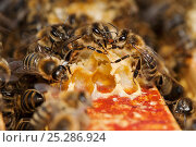 Купить «Honey bee (Apis mellifera) workers exchanging food - known as trophallaxis, Sussex, UK», фото № 25286924, снято 18 октября 2019 г. (c) Nature Picture Library / Фотобанк Лори