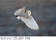 Купить «Barn Owl (Tyto alba) female hunting over grazing marsh, Burnham Overy, Norfolk, UK, February. Did you know? During flight, the left ear of the barn owl...», фото № 25287108, снято 18 февраля 2019 г. (c) Nature Picture Library / Фотобанк Лори