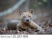 Adult female Fossa (Crytoprocta ferox) resting on deciduous forest... Стоковое фото, фотограф Nick Garbutt / Nature Picture Library / Фотобанк Лори
