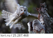 Купить «Ural Owl (Strix uralensis) bringing rodent prey to her chicks in a hollow tree-stump. Kuusamo, Finland, May.», фото № 25287468, снято 17 января 2019 г. (c) Nature Picture Library / Фотобанк Лори