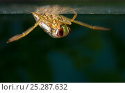 Купить «Backswimmer / Water Boatman (Notonecta glauca) under water surface. Europe, September.», фото № 25287632, снято 15 октября 2019 г. (c) Nature Picture Library / Фотобанк Лори