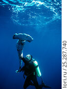 Купить «Diver holding a Scalloped Hammerhead (Sphyrna lewini), finned alive, thrown overboard to drown. Cocos Island, Costa Rica, Pacific Ocean.», фото № 25287740, снято 24 сентября 2018 г. (c) Nature Picture Library / Фотобанк Лори
