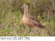 Купить «Long billed curlew (Numenius americanus) portrait, Texas, USA, January», фото № 25287792, снято 14 июля 2020 г. (c) Nature Picture Library / Фотобанк Лори