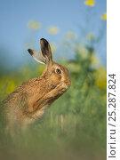Купить «European brown hare (Lepus europaeus) adult grooming beside field of rapeseed, Hope Farm RSPB reserve, Cambridgeshire, UK, May», фото № 25287824, снято 18 декабря 2017 г. (c) Nature Picture Library / Фотобанк Лори