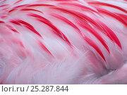 Купить «Greater flamingo (Phoenicopterus ruber) close-up of back, captive», фото № 25287844, снято 25 апреля 2019 г. (c) Nature Picture Library / Фотобанк Лори