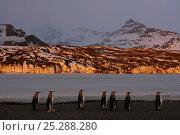 Купить «King penguins (Aptenodytes patagonicus) walk along beach, South Georgia. Taken on location for BBC Frozen Planet series, 2008», фото № 25288280, снято 25 марта 2019 г. (c) Nature Picture Library / Фотобанк Лори