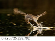 Купить «Great reed warbler (Acrocephalus arundinaceus) taking fish from water, Hungary, June. Winner, Eric Hosking award, 2011 Wildlife Photographer of the Year competition», фото № 25288792, снято 26 марта 2019 г. (c) Nature Picture Library / Фотобанк Лори
