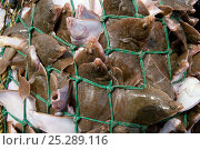 Купить «Yellowtail flounder (Limanda ferruginea) caught in an overflowing dragger fishing net. Stellwagon Bank, New England, USA, Atlantic Ocean, October 2009», фото № 25289116, снято 21 августа 2018 г. (c) Nature Picture Library / Фотобанк Лори