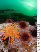 Купить «Giant Sunflower Sea Star (Pycnopodia helianthoides) and Red Sea Urchins (Stronglyocentrotus franciscanus). British Columbia, Canada, Pacific Ocean, September.», фото № 25289152, снято 16 августа 2018 г. (c) Nature Picture Library / Фотобанк Лори